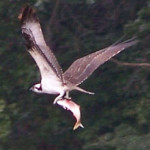 Alewives are an important food source for ospreys when sitting on eggs.