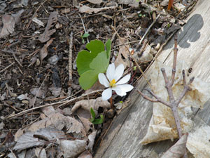 Bloodroot blooming by the Hammer Woodlands path