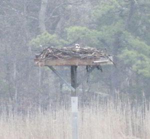 Osprey platform cropped