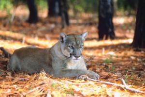 BLT-Cougar