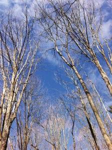 BLT-TreesinWinterW
